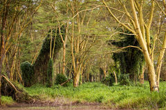 Deep forest in Naivasha Stock Photography