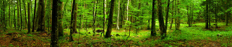 Deep forest Panorama. Travna Gora Forest, Ribnica, Slovenia Stock Photography