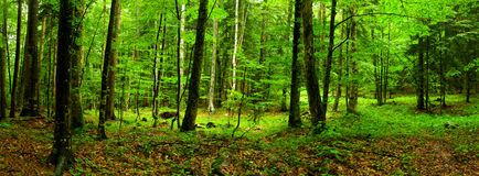 Deep forest Panorama XXL Royalty Free Stock Photography