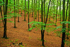 Deep forest in spring with fresh green leafs Royalty Free Stock Photography