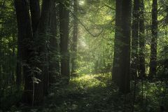 Deep forest and sunlight. Sunlight illuminates foliage in a forest royalty free stock photo