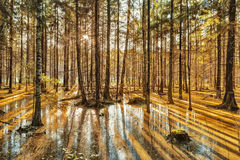 Deep forest on sunset. And sunken trees Stock Images