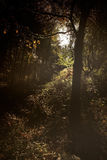 Deep forest at sunset Royalty Free Stock Image