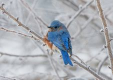 Male Eastern Bluebird perched on a frosty branch
