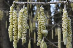 Deep Frozen Hazel Catkins Clothed in Winter Frost. Hazel - Corylus Avellana is a native broad leaved deciduous tree found in the British Isles. Here the male stock images