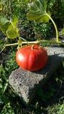 Pumpkin in garden waiting for harvest Stock Images