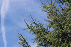 Deep green conifer Royalty Free Stock Image