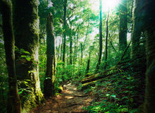 Deep green forest with mossy woods and ferns. Sunlight is shining through leaves and branches royalty free stock image