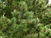 Deep green pine tree with many pine cones. Background Royalty Free Stock Photos