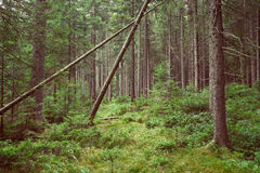 Deep green spruce forest with a windfall Stock Photo