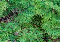 Deep green thuja tree branches royalty free stock images