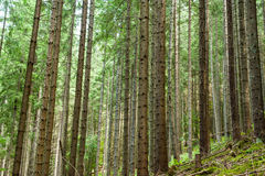 Deep highland forest at Carpathian mountains. Ukraine Royalty Free Stock Image