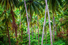 Deep jungle. Palm thickets in South Asia Stock Photos