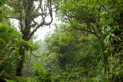 Deep in lush foggy rainforest Royalty Free Stock Photo