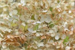 Deep macro of a smooth Hydrangea arborescens white flowers at summer garden Royalty Free Stock Images