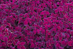 Deep magenta leaves Stock Photos