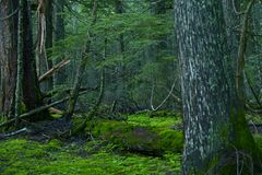 Deep Montana Forest. Montana Photo Collection. Mossy Forest Wilderness Landscape Photography stock images