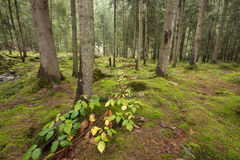 Deep moss forest  with leafs and plants Stock Photography