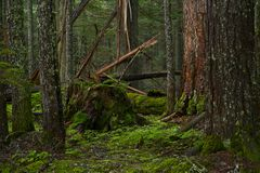 Deep Mossy Forest Royalty Free Stock Photos