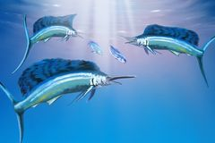 Deep Ocean. Three sailfish hunt for their prey Stock Images