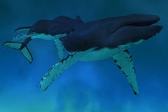 Humpback Whale Ocean. Deep ocean waters find a Humpback mother cow with her calf swimming together Stock Image