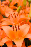 Deep orange asiatic lily Stock Photography