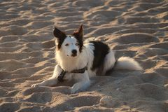 Newquay Cornwall fistral beach black and white collie dog enjoying light royalty free stock images