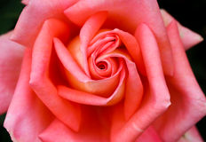 Deep Orange Rose. Opening out to a light soft pink Stock Images