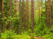 Deep pine and fir forest landscape. Beautiful deep pine and fir forest landscape, western Belarus royalty free stock photo