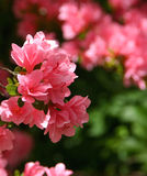 Deep Pink Azalea Flowers Royalty Free Stock Images
