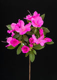 Deep pink azalea flowers Stock Photo