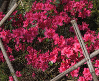 Deep Pink Azaleas Growing in Profusion Royalty Free Stock Photo