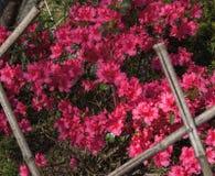 Deep Pink Azaleas Growing in Profusion. Clusters of deep pink azaleas brighten a garden in Northern Virginia royalty free stock photo