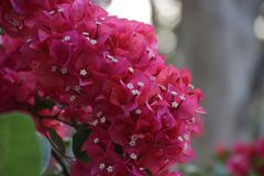 Deep Pink Bougainvillea flowers. Bright Red Tropical Flower is Blooming in Summer Sunny Day stock photos