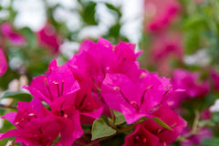 Deep pink Bougainvillea flowers Stock Photography