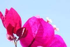 Deep Pink Bougainvillea Plant. Leaves and Small Flowers of Pink Bougainvillea Plant against the Sky Royalty Free Stock Photography