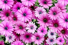 Deep Pink Daisy Background Royalty Free Stock Photography