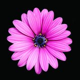 Deep Pink Daisy Isolated Stock Photo