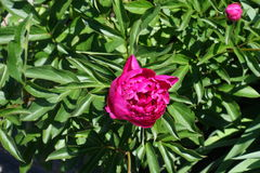Deep pink flower and a bud of peony stock image