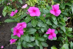 Deep pink flower of Catharanthus roseus. In September royalty free stock photo