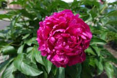 Deep pink flower of peony in spring. Deep pink flower of common peony in spring stock images