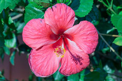 Deep Pink Flower Gumamela blurred out green leaves. Tropical plant in the Philippines stock photos