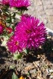 Deep pink flowerhead of china aster. Deep pink flower head of china aster Royalty Free Stock Photography