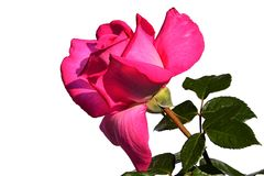 Deep pink flower of modern breed of rose Lady Like, Tantau 1989 on white background. Spring sunny day sunshine Royalty Free Stock Images