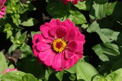 Deep pink flowerhead of Zinnia elegans from above Royalty Free Stock Photos