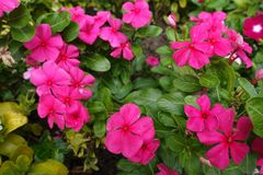 Deep pink flowers of Madagascar periwinkle royalty free stock images