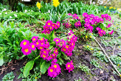 Deep pink flowers in a park. Springtime flowers in the countryside with center focus lush foliage in the UK stock images