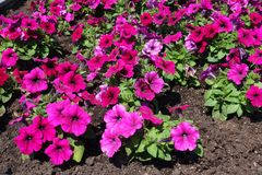 Deep pink flowers of petunia. In June royalty free stock images