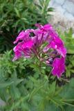 Deep pink flowers of Phlox paniculata royalty free stock image