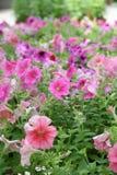 Deep Pink flowers / Pink , purple flowers in summer. Deep Pink flowers , Pink , purple flowers in summer royalty free stock photos